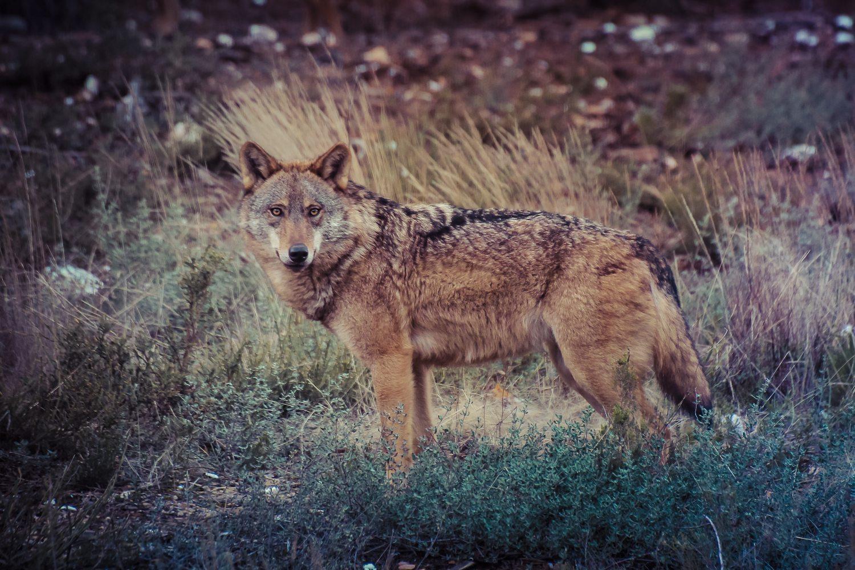 Observacion de lobo en Zamora